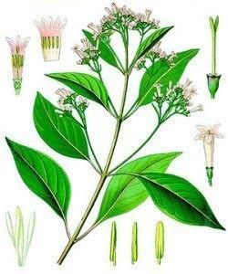 quina planta medicinal colonia peru